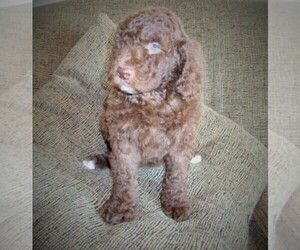 Aussie-Poo-Aussiedoodle Mix Puppy for Sale in LINCOLN, Alabama USA