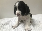 Small #2 English Springer Spaniel