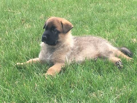 Malinois puppy