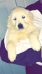 Golden Retriever Puppy For Sale in SAINT CHARLES, IL