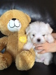 Maltese Puppy For Sale in EAST EARL, PA, USA