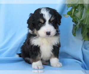 Miniature Bernedoodle Puppy for sale in SHILOH, OH, USA
