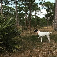 View Ad German Shorthaired Pointer Poodle Standard Mix