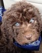 Goldendoodle Puppy For Sale in PEORIA, Arizona,