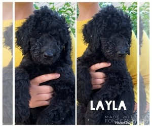 Goldendoodle Puppy for Sale in LITTLETON, Colorado USA