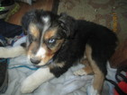 Australian Shepherd Puppy For Sale in COTOPAXI, CO,