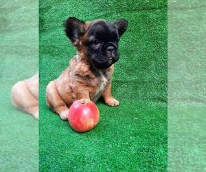 French Bulldog Puppy for sale in ASTORIA, NY, USA