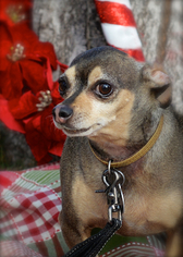 Peanut - Chihuahua / Mixed (short coat) Dog For Adoption