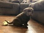 Small #55 Labrador Retriever