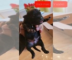 Small #18 Staffordshire Bull Terrier