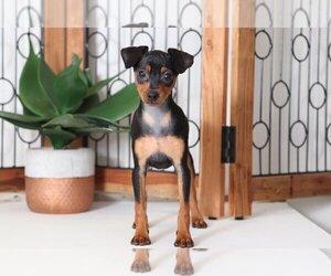 Miniature Pinscher Puppy for sale in NAPLES, FL, USA