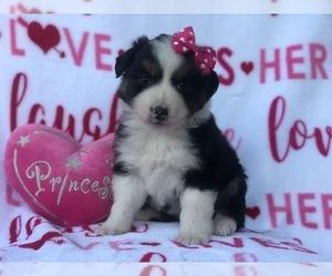 Australian Shepherd Puppy for Sale in LAKELAND, Florida USA