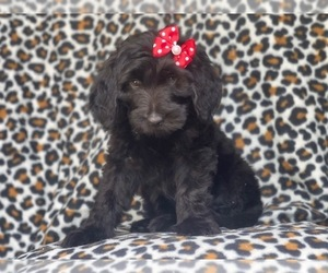 Golden Retriever-Goldendoodle Mix Puppy for sale in LAKELAND, FL, USA