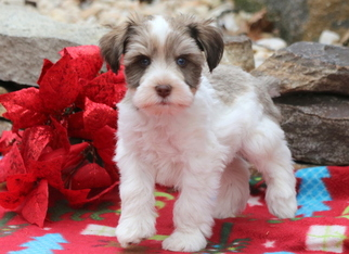 Schnauzer (Miniature) Puppy For Sale in MOUNT JOY, PA, USA