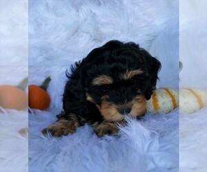 Cock-A-Poo Dog for Adoption in FREDERICKSBG, Ohio USA