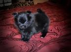 Pomeranian Puppy For Sale in GRAYSON, LA