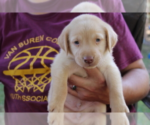 Labrador Retriever Puppy for sale in SPENCER, TN, USA