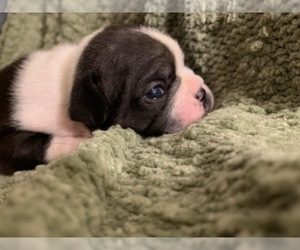 French Bulldog Puppy for sale in AVONDALE, PA, USA