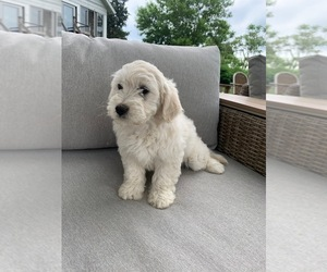 Goldendoodle (Miniature) Puppy for Sale in ROWLEY, Massachusetts USA