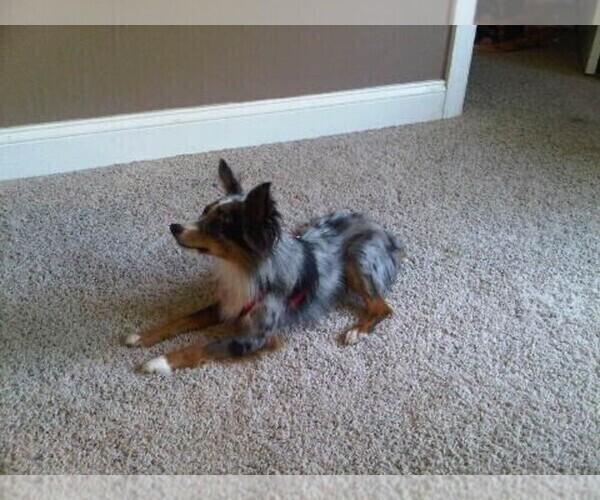 Medium Photo #1 Austi-Pap Puppy For Sale in NEWARK, DE, USA