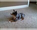 Small Photo #1 Austi-Pap Puppy For Sale in NEWARK, DE, USA