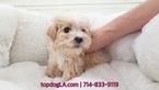 Morkie Puppy For Sale in LA MIRADA, CA, USA