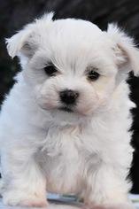 Maltese Dog for Adoption in MARYSVILLE, Washington USA