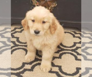 Golden Retriever Puppy for sale in PITTSBURGH, PA, USA