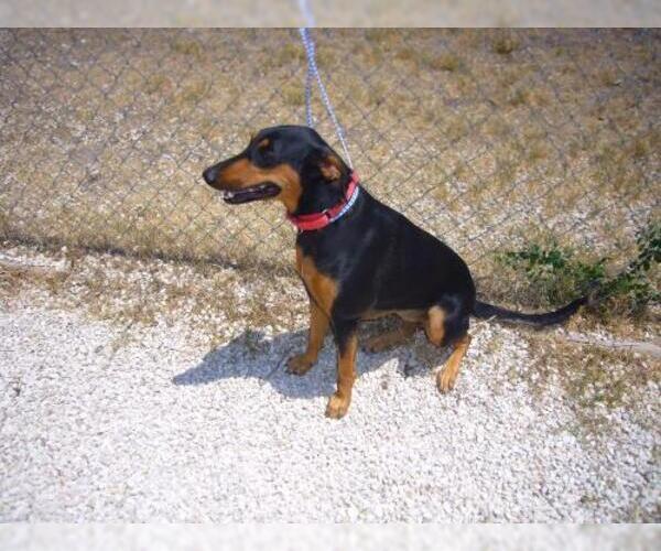 Medium Photo #19 Doberman Pinscher Puppy For Sale in Devine, TX, USA