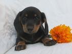 Dachshund Puppy For Sale in CRYSTAL, MI, USA