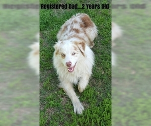 Father of the Australian Shepherd puppies born on 09/06/2020