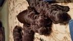 Boykin Spaniel Puppy For Sale in ANDALUSIA, AL, USA