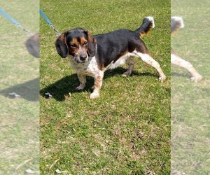 Beagle Dog for Adoption in GRAFTON, Wisconsin USA