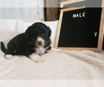 Small Photo #1 Aussiedoodle Puppy For Sale in DERBY, IA, USA