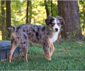 Border-Aussie Puppy for sale in FREDERICKSBG, OH, USA
