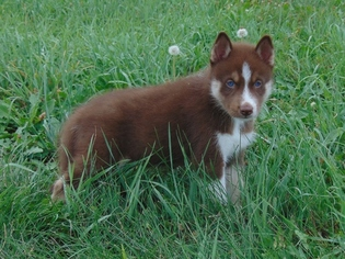 View Ad Siberian Husky Puppy For Sale Missouri Dearborn Usa