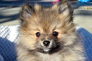 Pomeranian Puppy for sale in WEST SACRAMENTO, CA, USA