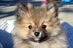 Pomeranian Puppy For Sale in WEST SACRAMENTO, CA