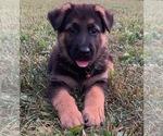 German Shepherd Dog Puppy For Sale in CHERRY RUN, WV, USA