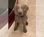 Weimaraner Puppy For Sale in COLBERT, WA, USA