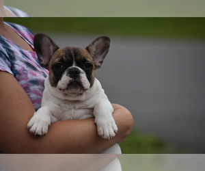 French Bulldog Puppy for sale in CHRISTIANA, TN, USA