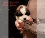Puppy 9 Saint Bernard