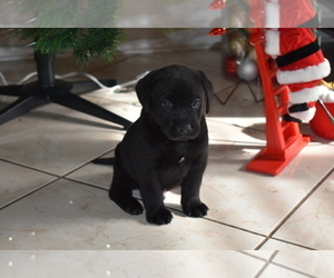 Labrador Retriever Puppy for Sale in SAN DIEGO, California USA