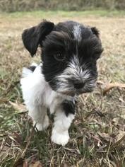 Schnauzer (Miniature) Puppy For Sale in TIBBIE, AL, USA