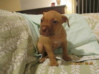 American Pit Bull Terrier Puppy For Sale in VERO BEACH, FL,