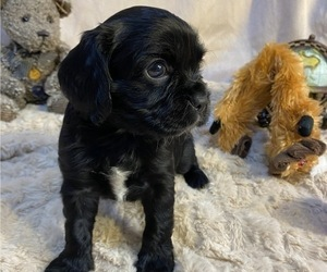 Cockalier Puppy for Sale in HERNDON, Virginia USA
