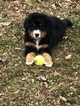 Bernese Mountain Dog Puppy For Sale in LA FAYETTE, IN, USA