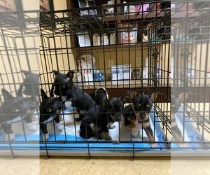 Chihuahua Puppy for Sale in DACULA, Georgia USA