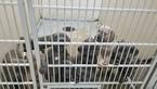 Cane Corso Puppy For Sale in HYATTSVILLE, Maryland,