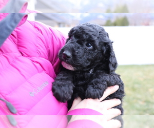 Goldendoodle Puppy for Sale in MISSOULA, Montana USA